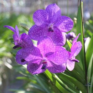 花好きの人に捧げる洋蘭『バンダミカサピンク』誕生日のお花やご自宅のリビングにも♪少量生産、限定開花中陶器鉢花