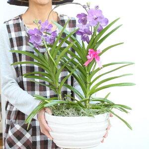 数量限定再販特別な洋蘭ギフトにお選び下さい!『贈答用バンダミカサ豪華2本仕立て陶器鉢入り』開店祝いや大切な方の誕生日、ご自宅の玄関にも♪少量生産、限定開花中【送料無料】陶器鉢花