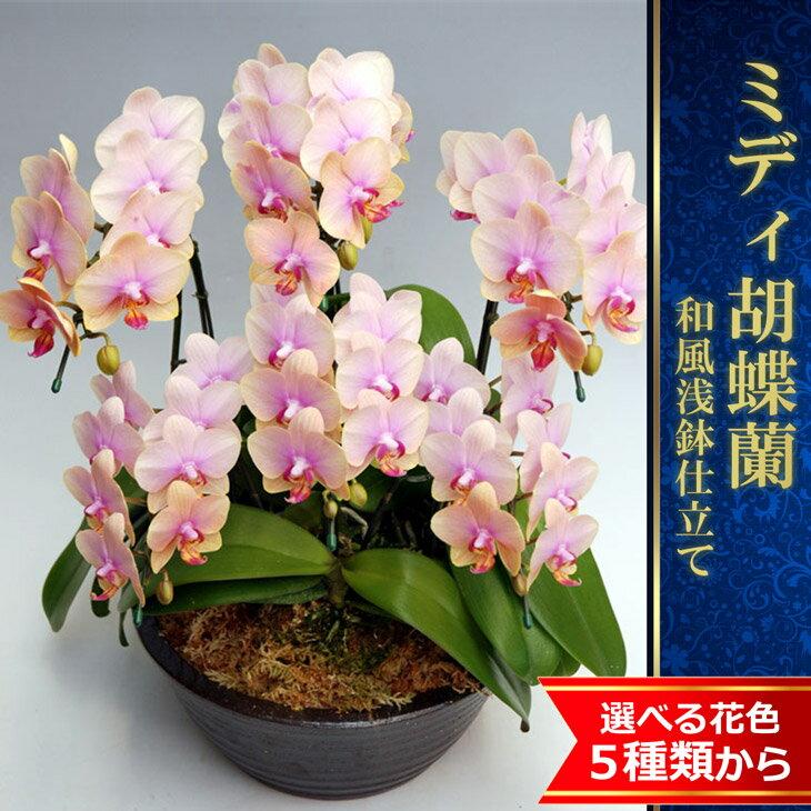 『ミディ胡蝶蘭 6本 豪華贈答用 和風浅鉢仕立て』陶器鉢花4品種から選べる花色 美しさ圧巻!洋ランの鉄人ギフト