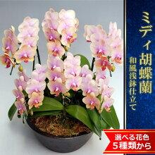 こんなステキな花色の胡蝶蘭って見たことありますか?