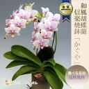 『ミディ胡蝶蘭(ミニ胡蝶蘭) 信楽焼 陶器鉢仕立て「かぐや」』送料無料上品で美しい4品種から選べる花色花保ちと美…