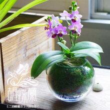 母の日ギフト2019\選べる花色/『ミニ胡蝶蘭ガラス鉢仕立て』
