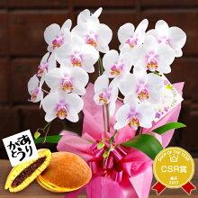 ギフトミディ胡蝶蘭2本仕立て白桃色
