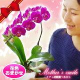 母の日ギフト2018選べる4色『母の日ギフトミディ胡蝶蘭1本立ち』陶器鉢花花言葉「幸せが飛んでくる」コチョウラン【熊本城復興募金付】