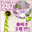春に枝垂れるように咲き乱れます!『デンドロ原種 アフィラム バニゲーティッド【育てる栽培セット】』 洋ラン花咲…