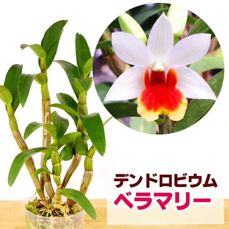 洋ラン『今ならつぼみ、または花付き--デンドロ品種 ベラマリー【花咲く苗セット】』育て方の説明書付き 洋蘭苗栽培キット