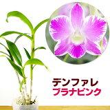 洋ラン『デンファレブラナピンク【花咲く苗セット】』鮮やかなピンクが印象的♪育て方の説明書付き洋蘭苗栽培キット