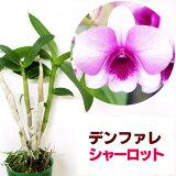 「デンファレ花すみれ」花咲く苗☆Den,Hanasumire