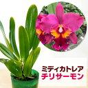 洋ランの苗『今ならつぼみ、または花付き--ミディカトレア チリサーモン【花咲く苗セット】』花姿、花色、株姿まです…