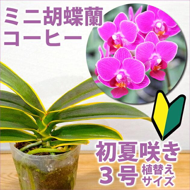 ミニコチョウラン『今なら花芽付きも--ミニ胡蝶蘭 コーヒー(斑入り)【花咲く苗セット】』育て方の説明書付き 洋蘭苗栽培キット