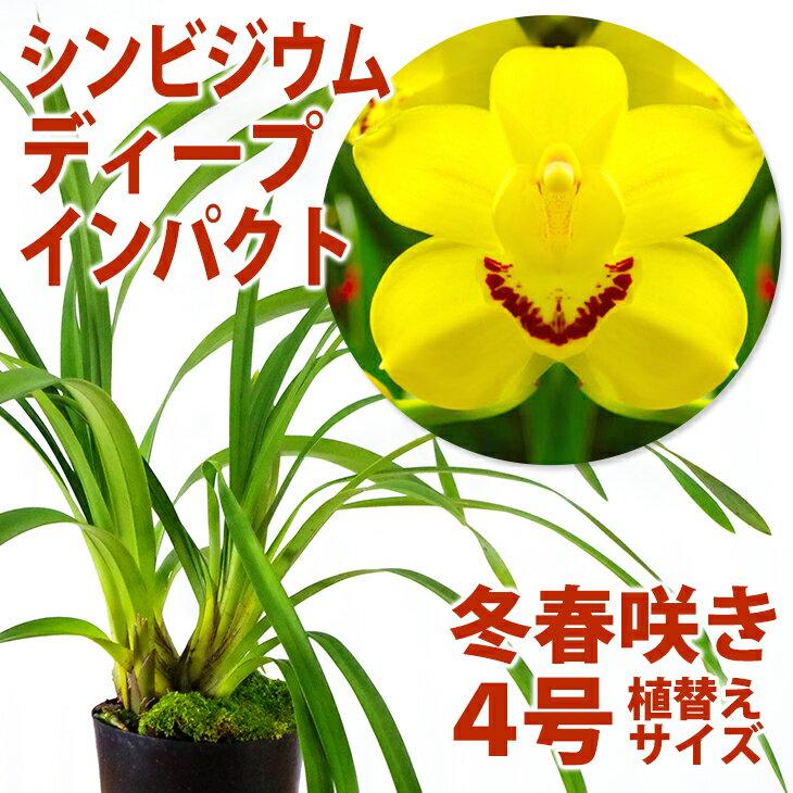 洋ラン『テーブルシンビ(シンビジューム)ディープインパクト 4寸【花咲く苗セット】』育て方の説明書付き 洋蘭苗栽培キット