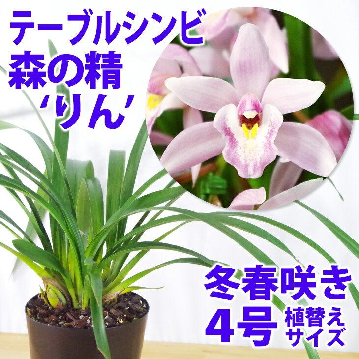 洋ラン『テーブルシンビ(シンビジューム)森の精 'りん' 4寸【花咲く苗セット】』育て方の説明書付き 洋蘭苗栽培キット