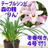 「テーブルシンビなかよし」花咲く苗セット