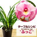洋ラン『シンビジューム(テーブルシンビ)'ふっこ' 4寸【花咲く苗セット】』育て方の説明書付き 洋ラン苗栽培キット