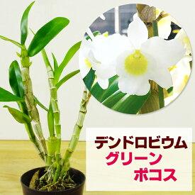 洋ランの苗『今ならつぼみ、または花付き--ミニデンドロ グリーンポコス【花咲く苗セット】』 無霜地帯では屋外で越冬できるほど丈夫な日本生まれの品種デンドロビューム デンドロビウムデンドロビウムの育て方 デンドロビューム 育て方