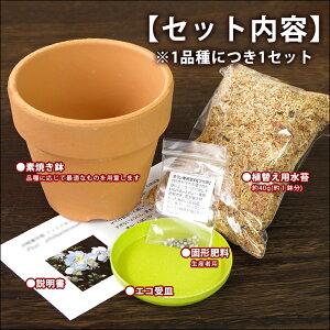 無霜地帯では屋外で越冬も出来るほど丈夫な日本生まれの品種【初心者の方に】『ミニデンドロビュームエンジェルベイビー【育てる栽培セット】』洋ラン花咲く苗セット育て方の説明書付き