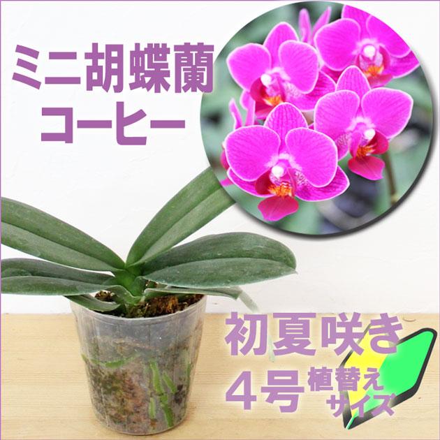 ミニコチョウラン『今なら花芽付きも--ミニ胡蝶蘭 コーヒー【花咲く苗セット】』育て方の説明書付き 洋蘭苗栽培キット