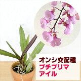 「カネツナーラプチプリマアイル」花咲く苗☆KanetsunaaraPetitPrima`Aile`