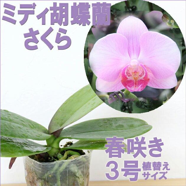 洋ラン『今なら花芽付きも--ミディ胡蝶蘭 さくら【花咲く苗セット】』育て方の説明書付き 洋蘭苗栽培キットミニコチョウラン