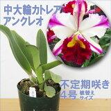 カトレア花咲く苗「アンクレオ」