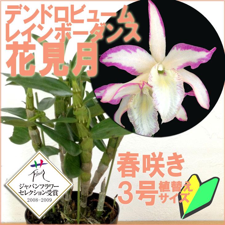こんな珍しい花色のデンドロはじめて!レア品種 『デンドロビューム 花見月【花咲く苗セット】』 育て方の説明書付き 洋蘭苗栽培キット