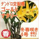 洋ランの苗『デンドロ交配種 キンギアナム ゴールドナタリー 【花咲く苗セット】』洋ラン栽培セット(素焼き鉢 お花の…