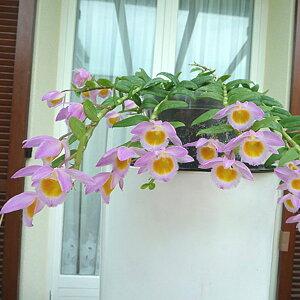 「デンドロ原種ロディゲシー」花咲く苗セットDen.loddigesii