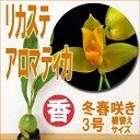 香りの原種 洋ラン『リカステ アロマティカ(※バルブ成熟による落葉状態)【花咲く苗セット】』育て方の説明書付き …