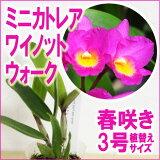 「ミニカトレアワイノットウォーク」花咲き苗