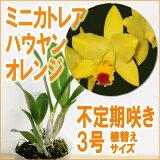 ミニカトレアハウヤンオレンジ花咲き苗Pot.HawYuanOrange