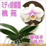 ミディ胡蝶蘭「桃苑」