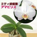 育てやすく咲かせやすい胡蝶蘭の原種『今ならつぼみ〜花付き--ミディ胡蝶蘭 アマビリス 【育てる栽培セット】』洋ラ…