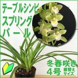 「テーブルシンビスプリングパール」花咲く苗セット