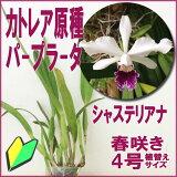 カトレア原種パープラータシャステリアナ[花咲く苗セット]