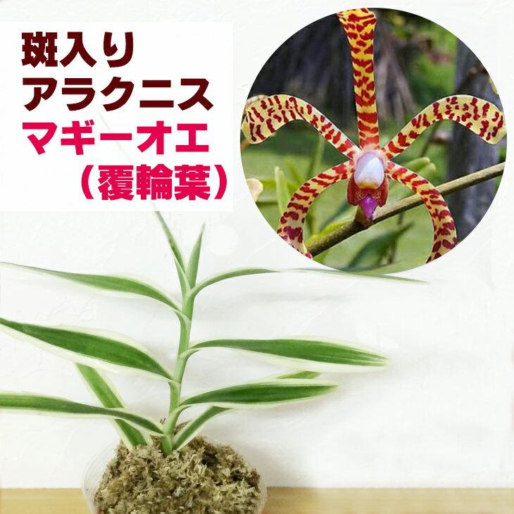 洋ラン『斑入り アラクニス マギー【花咲く苗セット】』 美しい斑入り葉に見とれてしまいます育て方の説明書付き 洋蘭苗栽培キット