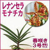 「レナンセラ交配種」花咲く苗Renanthera