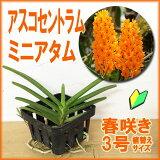「アスコセントラムミニアタム」花咲く苗☆バンダAscocentrum(Vanda)miniatum