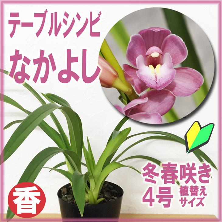 洋ラン『テーブルシンビ なかよし 4寸【花咲く苗セット】』育て方の説明書付き 洋蘭苗栽培キット