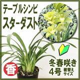 「テーブルシンビスターダスト」花咲く苗セット