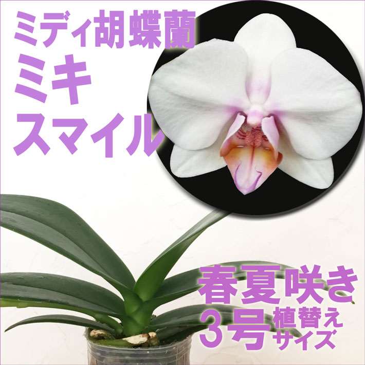 洋ラン『今なら花芽付きも--ミディ胡蝶蘭 ミキスマイル【花咲く苗セット】』育て方の説明書付き 洋蘭苗栽培キット