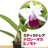 """カトレアドロシーオカ花咲き苗Lc.DrothyOka""""Hinomoto"""""""