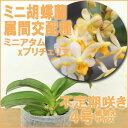 華やかな花がたくさん咲きます♪『ミニ胡蝶蘭属間交配種 ミニアタムXプリチェリマ 【育てる栽培セット】』【栽培セット】洋ラン花咲く苗セット