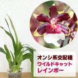 「ワイルドキャットレインボー」花咲く苗☆