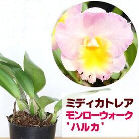 洋ランの苗『今ならつぼみ、または花付き--ミディカトレア モンローウォーク 'ハルカ'【花咲く苗セット】』柔らかなピンクの花色♪洋ラン栽培セット(素焼き鉢 お花の説明書 肥料 受皿 保証書付き) カトレアの育て方