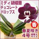 洋ラン苗『今なら花芽付き--ミディ胡蝶蘭 チョコレートドロップス(カオダトゥインクル)【花咲く苗セット】』育て方の説明書付き 洋蘭苗栽培キット