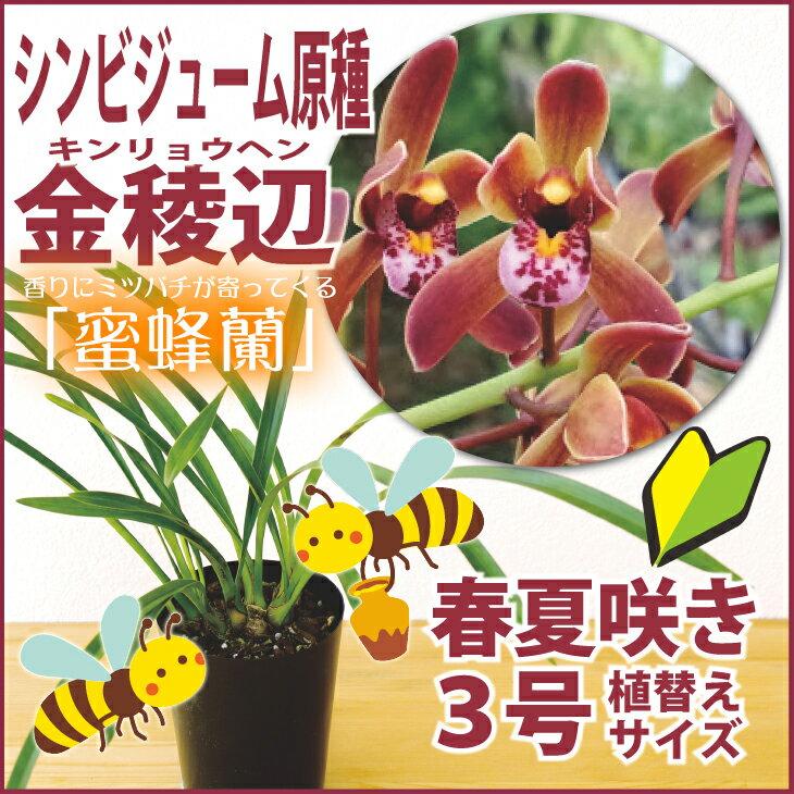 洋ラン『金稜辺 キンリョウヘン フロリバンダ 【花咲く苗セット】』日本ミツバチを誘引する丈夫なシンビジュームの原種育て方の説明書付き 洋蘭苗栽培キット