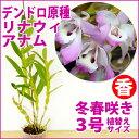 さわやかな香り♪ノビル系『デンドロ原種 リナウィアナム【育てる栽培セット】』中国南部と台湾の中高地に自生する着…