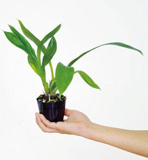 今なら花付き--茶褐色と深遠な青紫のシックな色合いと甘い香りで人気☆『ミディ胡蝶蘭ジゴバプスティニアメリーアン【育てる栽培セット】』洋ラン花咲く苗セット育て方の説明書付き