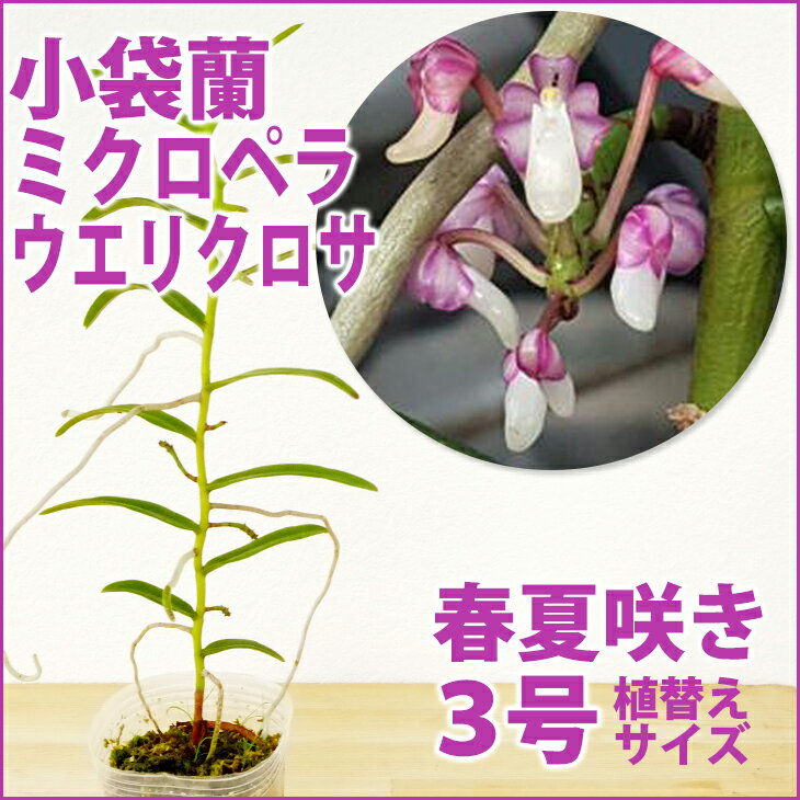 洋ラン『小袋蘭 ミクロペラ ウエリクロサ【花咲く苗セット】』 必見!お花の形がとにかくユニーク♪愛好家さん向け希少種育て方の説明書付き 洋蘭苗栽培キット