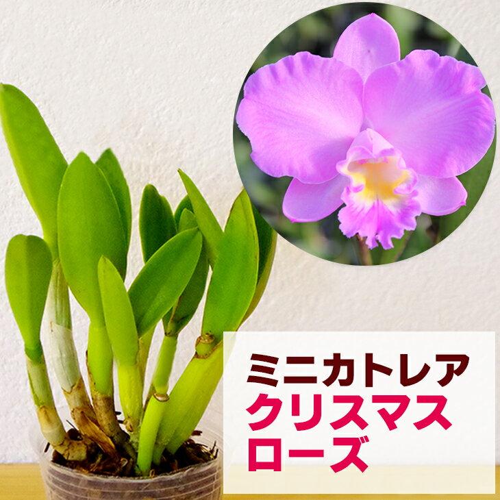 洋ラン『ミニカトレア クリスマスローズ【花咲く苗セット】』うっとりするほどの美人花ピンクの優しいグラーデションが美しすぎます育て方の説明書付き 洋蘭苗栽培キット